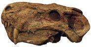 Лиценопс череп