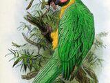 Жёлто-зелёный доминиканский ара