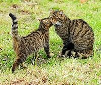 269px-Scottish wildcat & kitten