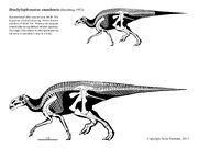 Brachylophosaurus skeleton.jpg