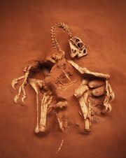 Citipati fossil 01.jpg