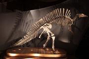 Ouranosaurus skeleton.jpg