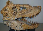 Tarbosaurus skull 10.jpg