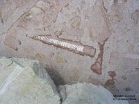 Эндоцерас раковина.jpg
