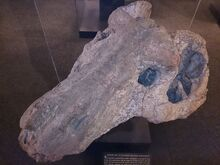 Iziko Petrified Skull of an Ancient Flesh-eater.JPG