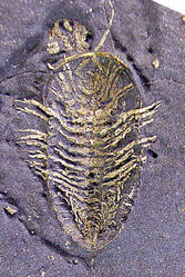 Pyrite preserved Triarthrus eatoni