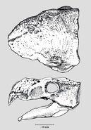 Shamosaurus-cherep