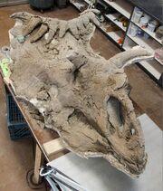 Kosmoceratops skull 02.jpg