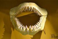 Otodus teehs in mouth