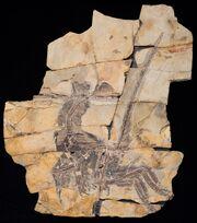 Serikornis fossil.jpg