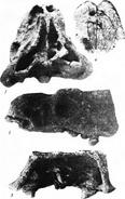 Shamosaurus-cherep-1-m