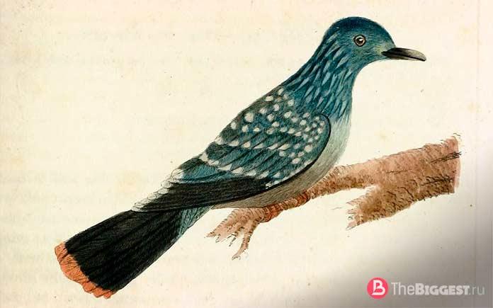 Пятнистый зелёный голубь
