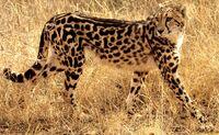 Korolevskij gepard