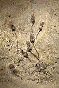 Encrinus lilliformis