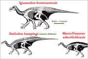 Iguanodontid Skeletal Comparisons.jpg