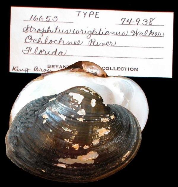 Alasmidonta wrightiana