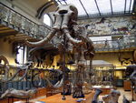 Mammuthus meridionalis Paris.jpg