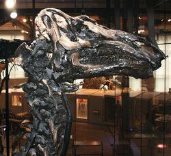 Iguanodon skull 02