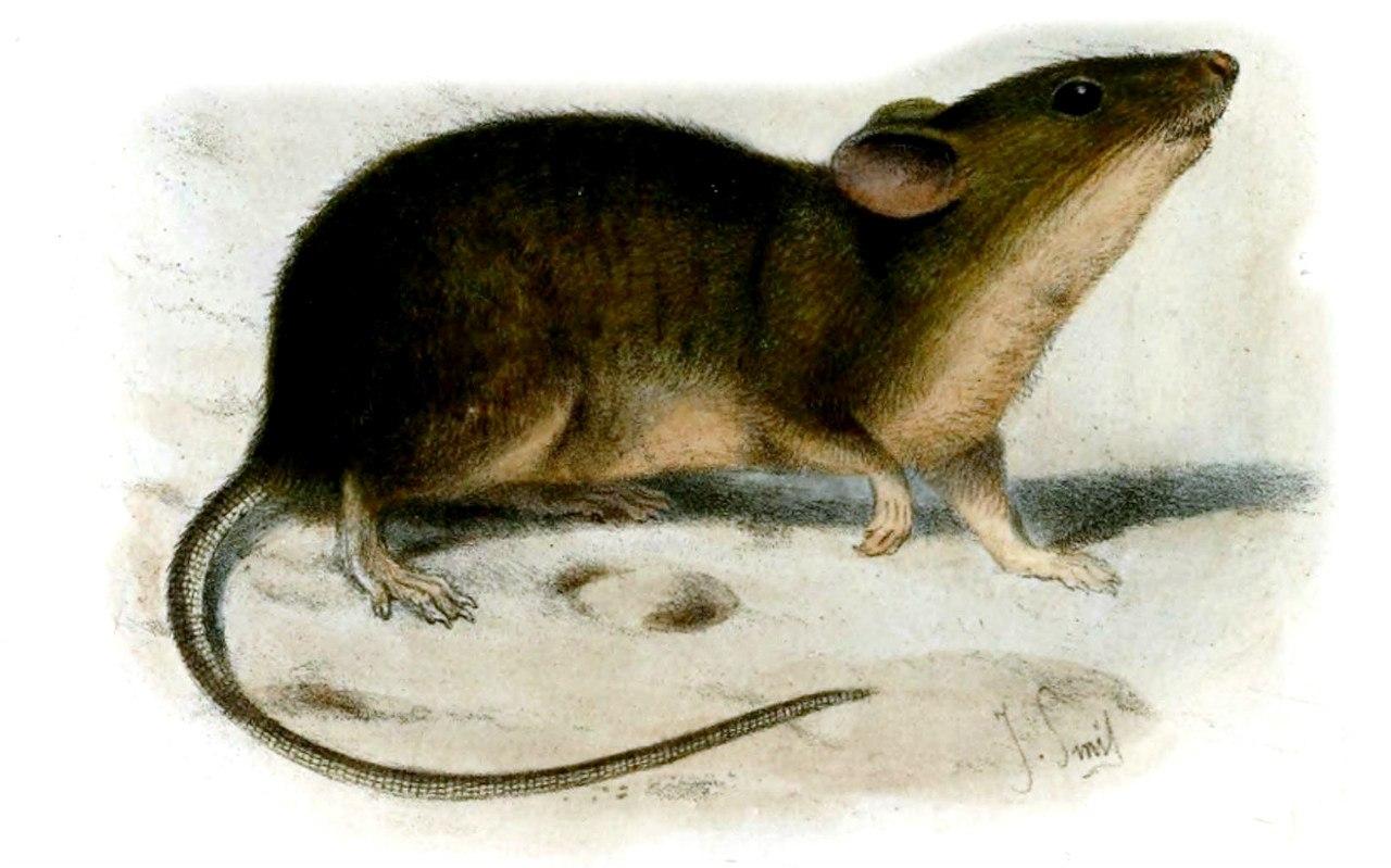 Сент-килдская домовая мышь