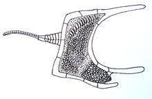 Cothurnocystis.jpg