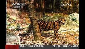Тайваньский дымчатый леопард.jpg