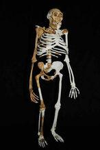 Австралопитек седиба скелет.jpg