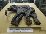 Магаданский (Киргиляхский) мамонтёнок Дима