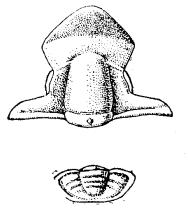 Параорловия