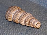Turrilites costatus