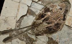 Confuciusornis fossil 03.jpg