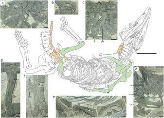 Diandongosuchus skeleton (1).jpg