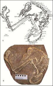 Liaoningvenator fossil.jpg