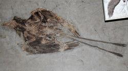 Confuciusornis fossil 04.jpg