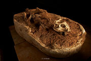 Yinlong fossil.jpg