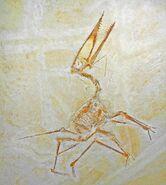 0Germanodactylus spec 01