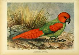 Родригесский попугай