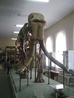 Mammuthus meridionalis in a museum of Stavropol (1 skeleton).JPG