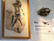 Hypsilophodon fossil.jpg