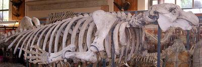 Скелет стеллеровой коровы в Национальном музее естественной истории в Париже.jpg