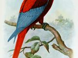 Красный ямайский ара