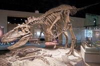 Скелет дасплетозавра
