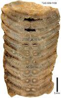 Orthonybyoceras isakari 3