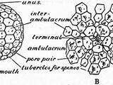 Ботриоцидарис