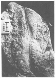Paleoplatoda.png