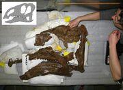 Probrachylophosaurus fossil.jpg