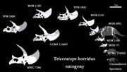 Triceratops ontogenez.jpg