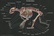 Arctodussimusskeletonlabels by thedragonofdoom-daz62or