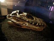 Herrerasaurus fossil.jpg