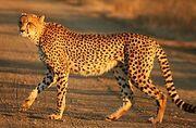 265px-Cheetah Kruger.jpg