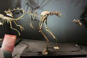 Garudimimus fossil.jpg